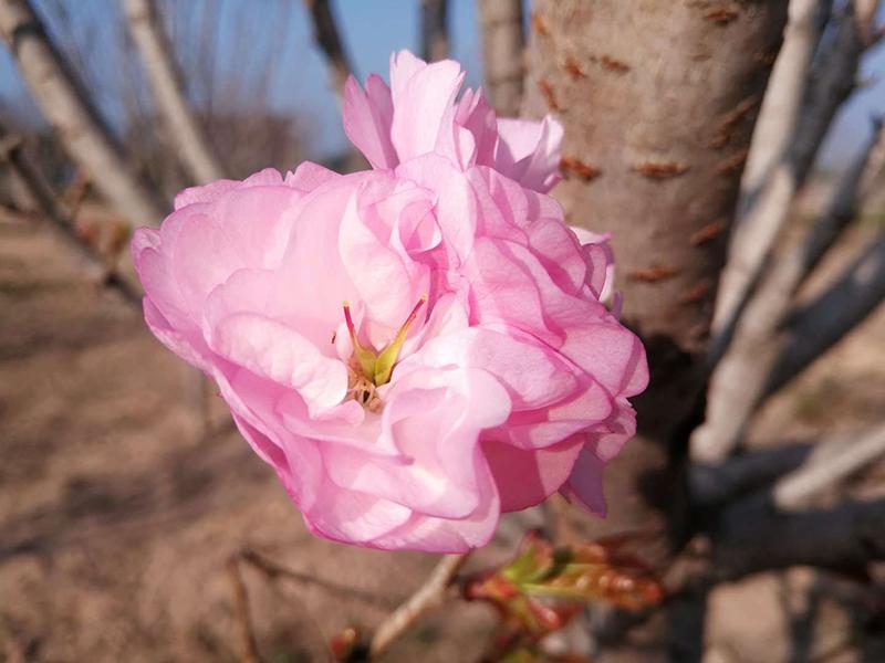 2018南丽湖国际樱花文化节开园迎客